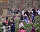 Xem vườn đào Nhật Tân hốt bạc dịp cận Tết