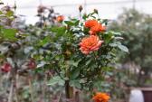 Săn hoa nhập ngoại giá đắt đỏ chơi Tết Đinh Dậu