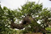 Choáng ngợp cây cảnh cổ tiền tỷ đón Tết Đinh Dậu