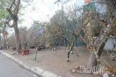 Sau ngày 23 Tết, đào rừng ùn ùn xuống phố: Dù đẹp nhưng kén khách mua