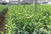 Hoa ly Tây Tựu nở sớm, dự báo giá hoa ly dịp Tết Nguyên Đán 2017 tăng gấp 3 lần