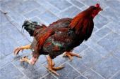 Những chuyện kỳ thú về con gà