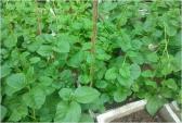 Kỹ thuật trồng rau mồng tơi sạch tại nhà cho năng suất cao