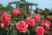 Cùng tham dự Lễ hội hoa hồng lớn nhất Việt Nam tại Hà Nội