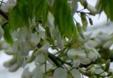Hà Nội đẹp dịu dàng trong sắc hoa sưa quyến rũ