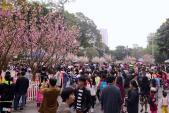 Hà Nội đưa 20 cây hoa anh đào về triển lãm ở Hồ Gươm