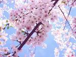 Hà Nội: Sắp diễn ra giao lưu văn hóa Nhật Bản và Triển lãm hoa anh đào