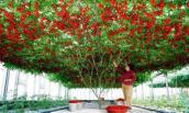 Thực hư giống cà chua leo giàn cho ra nửa tấn quả 1 năm ở Việt Nam