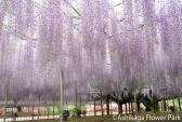 Tháng 4, đến Nhật ngắm giàn Tử Đằng 150 năm tuổi