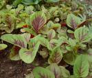 Mách chị em 3 loại rau củ nên trồng vào mùa xuân tại nhà