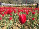 Vườn hoa tulip đẹp như châu Âu hút hồn du khách ở Lào Cai