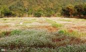 Vườn hoa tam giác mạch tuyệt đẹp ở Ninh Bình