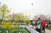 Sắp diễn ra Lễ hội hoa Anh đào - Mai vàng Yên Tử 2017