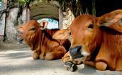 Cái chết của con bò và bài học về sự cẩn trọng trong lời nói