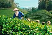 Chè Thái Nguyên: Nét độc đáo trong văn hóa của người Việt