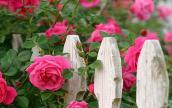 Cách trồng hoa hồng leo bằng hạt ra hoa cực nhanh