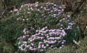 Sa Pa tiếp tục hút du khách với lễ hội hoa đỗ quyên