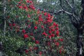 Tháng Tư lên Fansipan ngắm hàng ngàn cây đỗ quyên mùa lễ hội