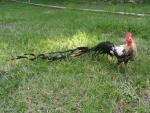 """""""Đại gia"""" Việt ráo riết săn giống gà đuôi dài trên 7 m"""