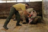 Vườn thú cưa sừng tê giác để ngăn trộm