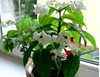 Đã mắt với mô hình trồng cây hoa Ngọc nữ trên ban công