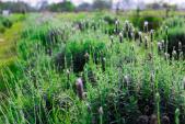 Ngây ngất với vườn hoa oải hương tuyệt đẹp giữa lòng Hà Nội