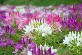 Kỹ thuật trồng cây hoa Hồng ri làm lối đi vào nhà đẹp mê mẩn