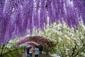 Đường hầm hoa tử đằng huyền ảo nhất thế giới