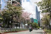 Hoa kèn hồng nở rực cả đoạn đường ngay trung tâm Sài Gòn