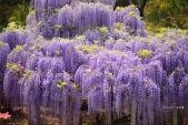 Dạo bước dưới những tán hoa tử đằng Nhật Bản