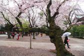 Hoa anh đào Nhật Bản vào thời kỳ bung nở đẹp nhất năm