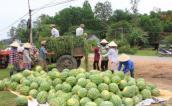 Dưa hấu Việt Nam ùn ứ tại cửa khẩu do trái to và cạnh tranh