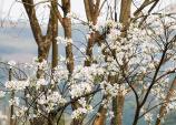 Sẽ trồng mới 36.000 cây hoa Ban ở Điện Biên