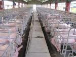 Không bán được lợn vì giá thấp, nông dân chịu gánh nặng chi phí