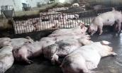 """""""Không thấy đáy"""", giá lợn tiếp tục giảm sâu"""
