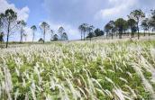 Check-in cánh đồng cỏ lau đẹp ngất ngây tại Đà Lạt