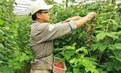 Làm giàu từ cây phúc bồn tử ở Lâm Đồng