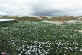 Cánh đồng hoa cẩm tú cầu tuyệt đẹp ở Đà Lạt