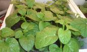 Những loại rau lớn nhanh như thổi nên trồng trong tháng 6