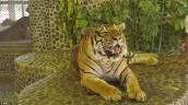 Cuộc sống tồi tệ của những chú hổ trong vườn thú Thái Lan