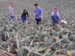 Lạ lùng thương lái Trung Quốc ráo riết mua trái cây non
