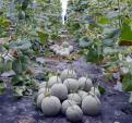 Những vườn dưa lưới thu bạc tỷ tại Việt Nam