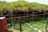 Choáng ngợp cây hoa hồng khủng nhất thế giới bao phủ gần 840m2