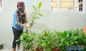 Ươm trồng bàng vuông bán cho du khách ở đảo Lý Sơn