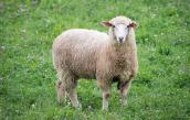 Du khách bị phạt hơn 1.000 USD vì trộm cừu làm BBQ