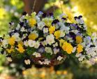 7 loài hoa trồng ban công tuyệt sắc nhất trong mùa hè này