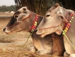 Nước tiểu bò có tác dụng gì mà người Ấn Độ lại quý đến vậy?