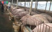Tăng trở lại, giá lợn sẽ đi về đâu?