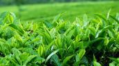 Chống lão hóa da bằng trà xanh để giữ lại nét đẹp xuân xanh