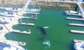 Cá voi bơi nhầm hướng, lạc đường vào bến du thuyền